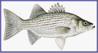 Texas lake management best types of fish for stocking in for Pond fish stocking calculator